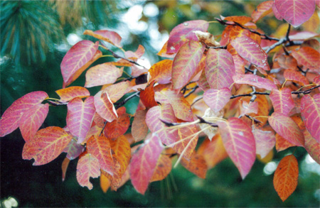 serviceberry-leaves